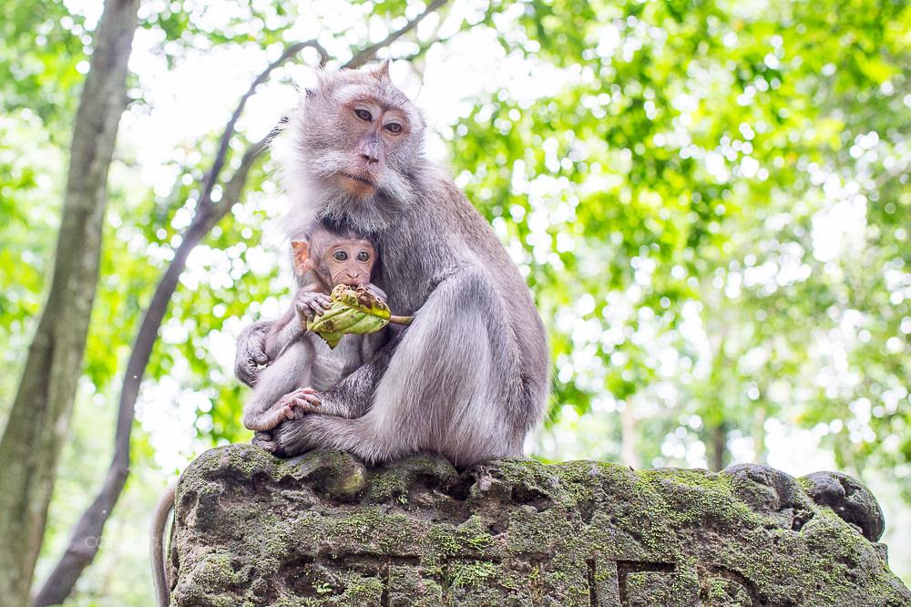 峇里島自由行 | 烏布景點 聖猴森林公園 Sacred Monkey Forest