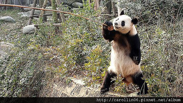 【旅遊】四川自由行。成都《大熊貓繁育研究基地》團團圓圓的故鄉